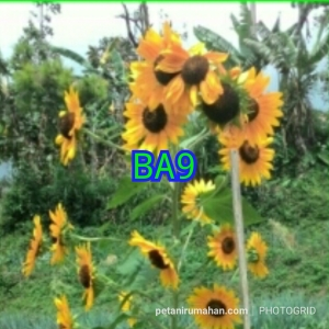 ba9 sunflower sunburst