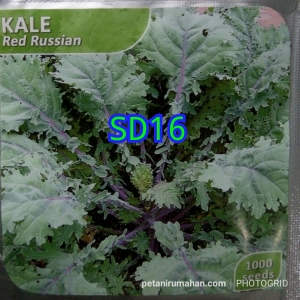 sd16 kale red russian
