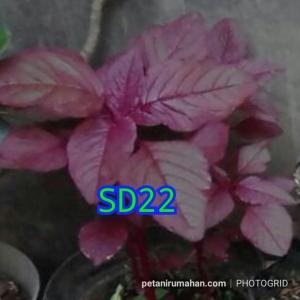 sd22 bayam merah