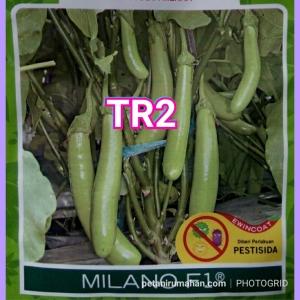 tr2 terong hijau hibrida