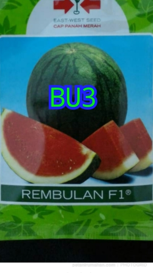 bu3 semangka non biji rembulan