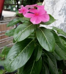 ba10 vinca pink