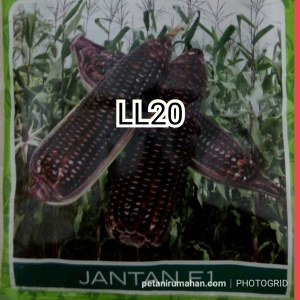 ll20 jagung ungu