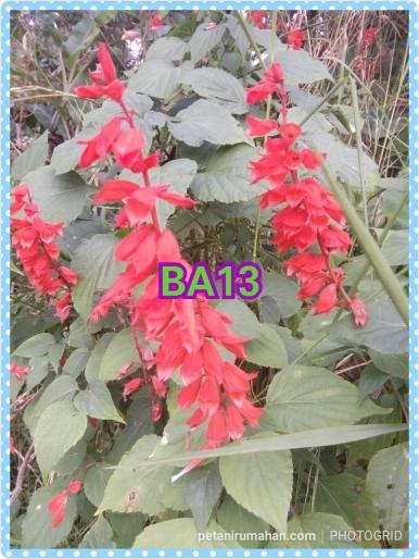 ba13 salvia red